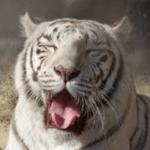 平川動物園のホワイトタイガーが職員を襲ったヤバイ理由と原因や男性飼育員の顔画像は?